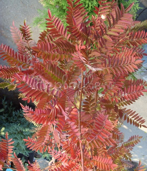 Sorbus 'Red Tip'