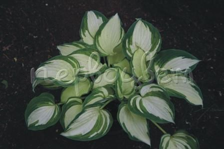 Hosta Ghost Spirit