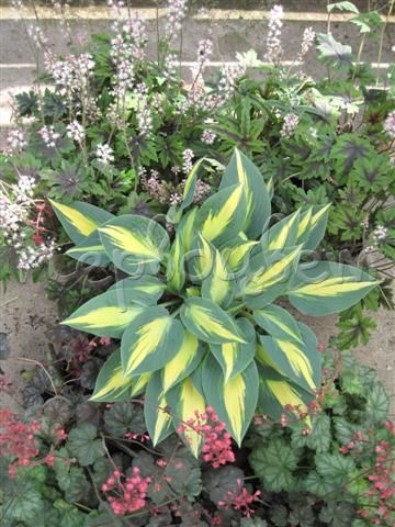 Hosta Magic Island