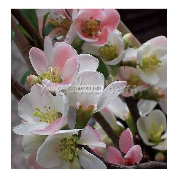 Chaenomeles superba 'Flocon Rose' A
