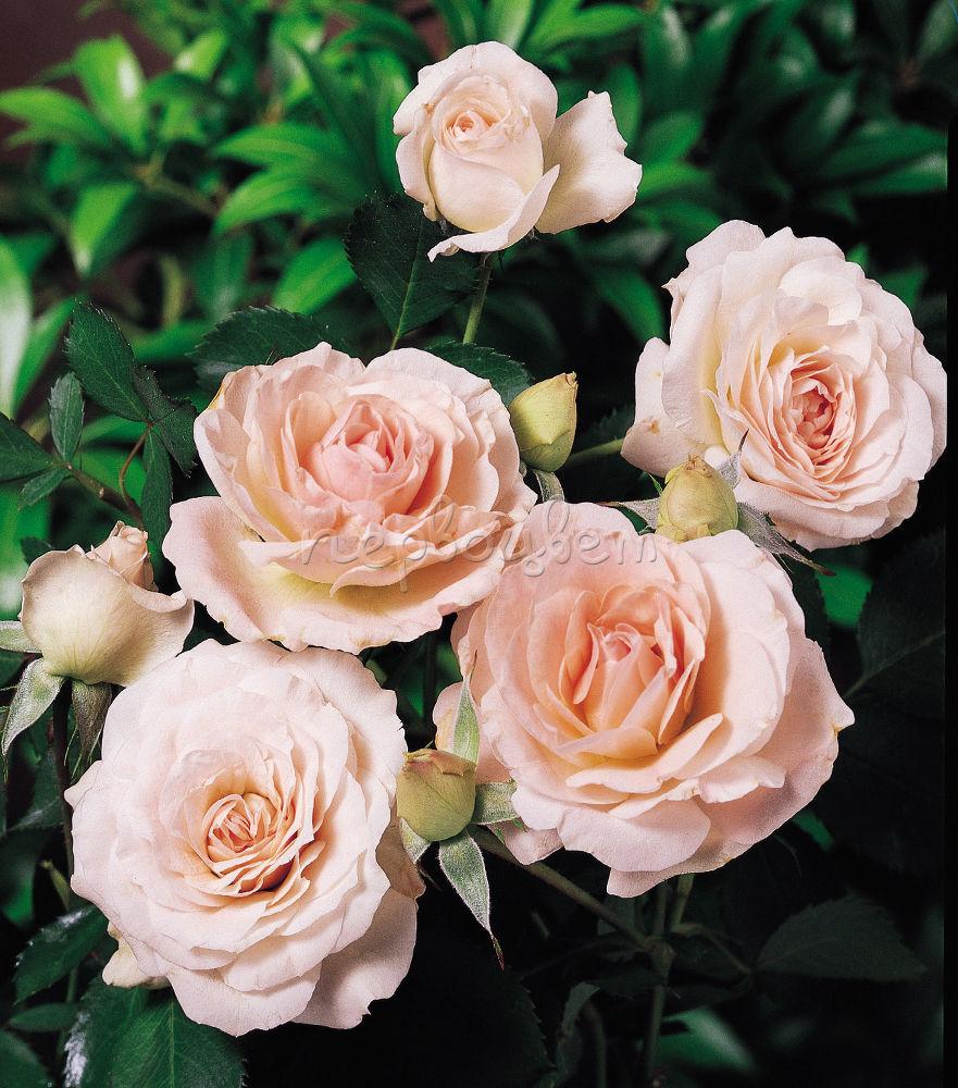 Роза мархенланд фото