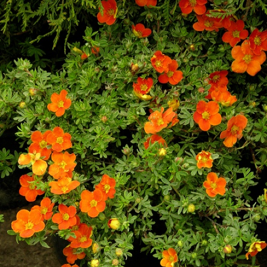Potentilla fruticosa 'Lucas Red'