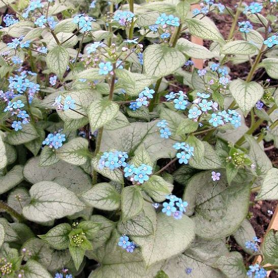 Brunnera Looking Glas