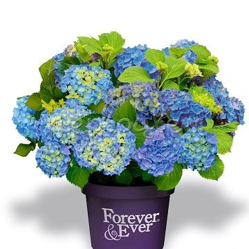 Hydrangea m. 'For.&Ever Blue' ®