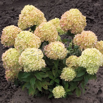 Hydrangea pan. 'Little Lime' ®