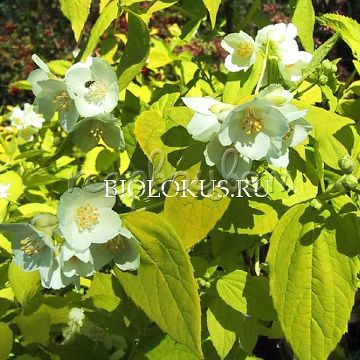 Philadelphus 'Yellow Cab'