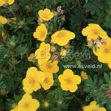 Potentilla fruticosa 'Chilo'