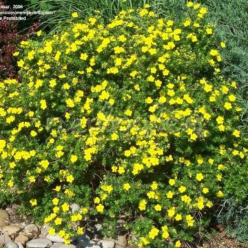 Potentilla fruticosa 'Dakota Sunspot'