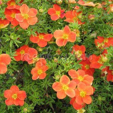 Potentilla fruticosa MARIAN RED ROBIN 'Marrob'