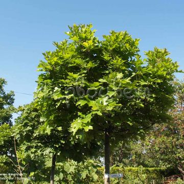 Quercus palustris 'Green Dwarf '