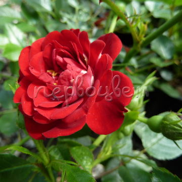 Rosa 'Rote The Fairy'