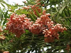 Sorbus arnoldiana 'Coral Beauty'