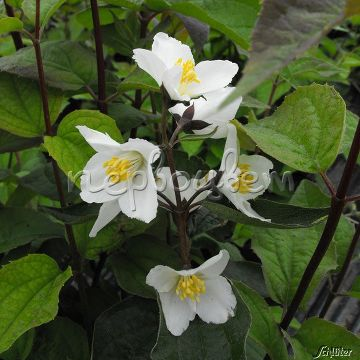 Philadelphus 'Starbright' PBR – НОВИНКА!