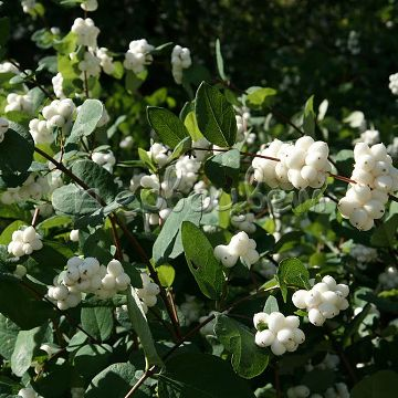 Symphoricarpos ?doorenbosii 'White Hedge'