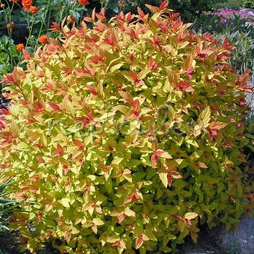 Spiraea japonica MAGIC CARPET 'Walbuma' PBR