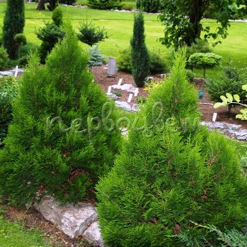Thuja occidentalis 'Miky'