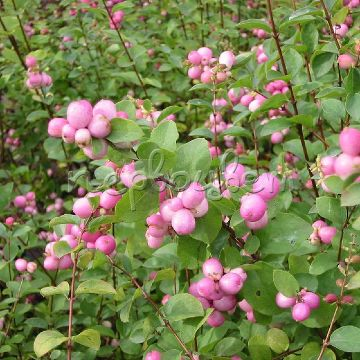 Symphoricarpos doorenbosii 'Mother of Pearl'
