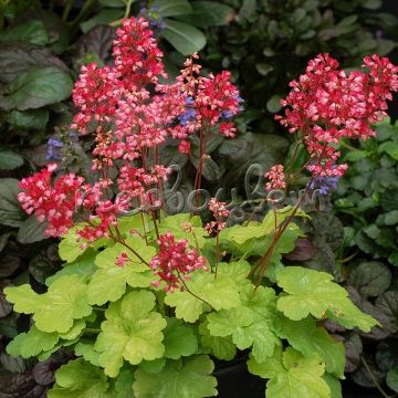 Heuchera Little cuties Sweet Tart