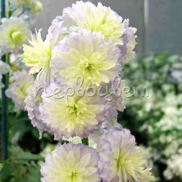 Delphinium Moonlight