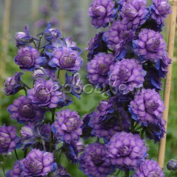 Delphinium Sweet Sensation