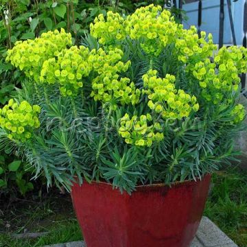 Euphorbia 'Shorty'