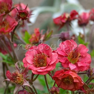Geum 'Flames of Passion'