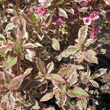 Weigela florida MONET 'Verweig' PBR