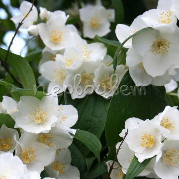 Philadelphus 'Apollo'