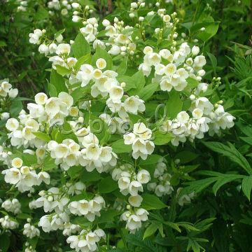 Philadelphus 'Little White Love'
