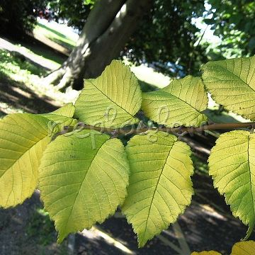 Ulmus minor 'Louis van Houtte' - НОВИНКА!