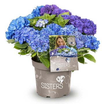 Hydrangea macrophylla Three Sisters Blue