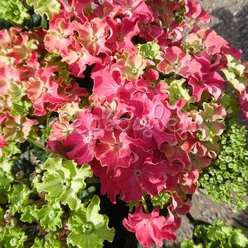 Hydrangea macrophylla Curly® Sparkle Pink/Red