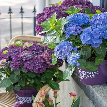 Hydrangea macrophylla Forever & Ever purple
