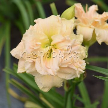 Hemerocallis 'Bowl of Cream'