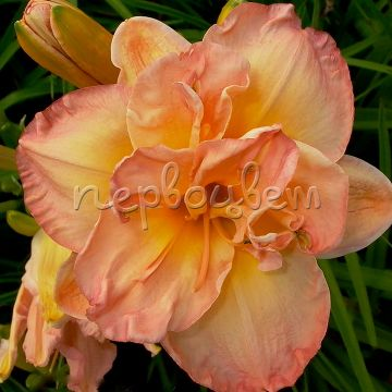 Hemerocallis 'Frances Joiner'