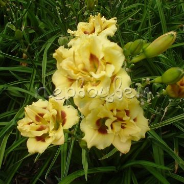 Hemerocallis 'Little Miss Manners'