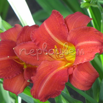 Hemerocallis 'Red Rum'