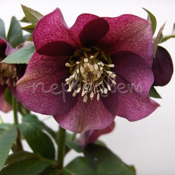 Helleborus Pretty Ellen Red