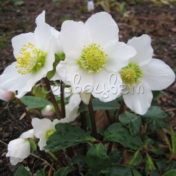 Helleborus Niger Early Ellen White