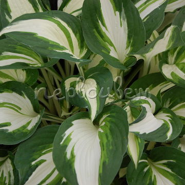 Hosta Enterpris