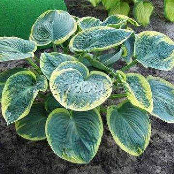 Hosta Sugar Daddy