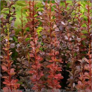 Berberis thunbergii 'Red Torch' PBR