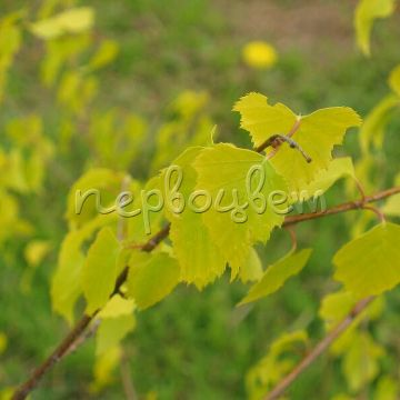 Betula pendula 'Golden Cloud'