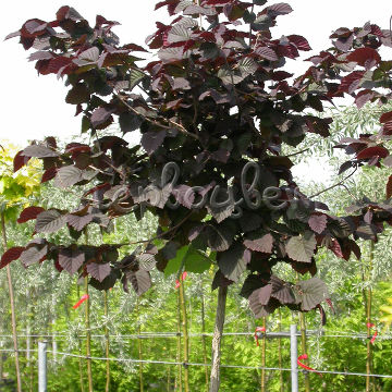 Corylus avellana 'Anny's Compact Red'