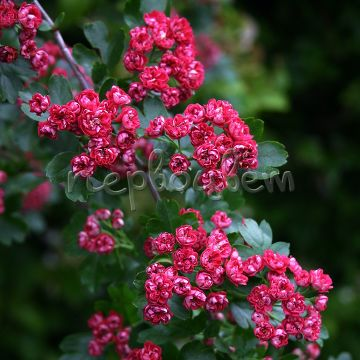 Crataegus media 'Paul's Scarlet'