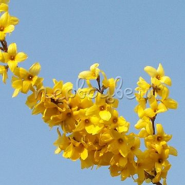 Forsythia intermedia 'Lynwood'