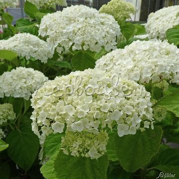 Hydrangea arborescens INCREDIBALL 'Abetwo' PBR