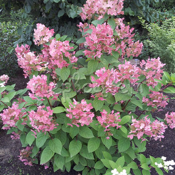 Hydrangea paniculata EARLY SENSATION 'Bulk' PBR