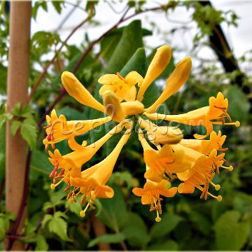 Lonicera X Brownii Golden Tiara 'Mintrum'