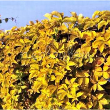 Parthenocissus Quinquefolia 'Yellow Wall' Pbr